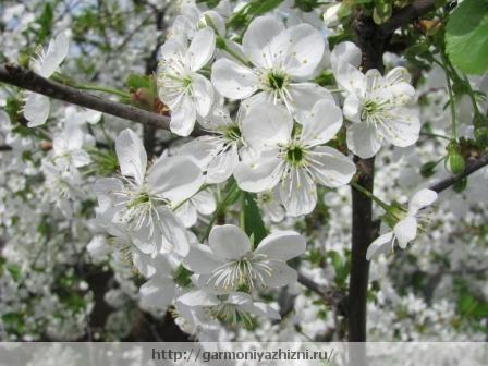 цвет вишни