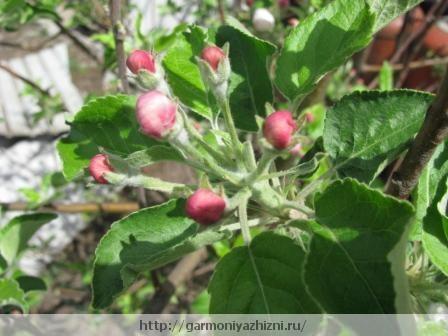 яблоня скоро зацветёт