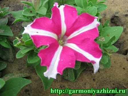 петунья розово-белая
