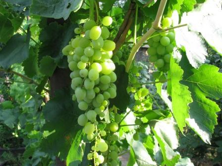 виноград крупный