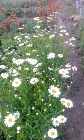 белая садовая ромашка