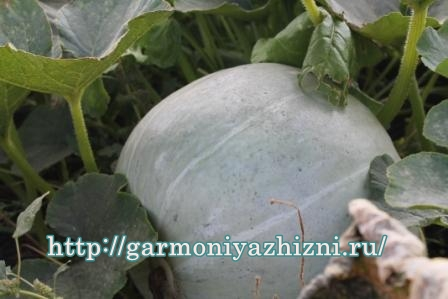 как растёт тыква