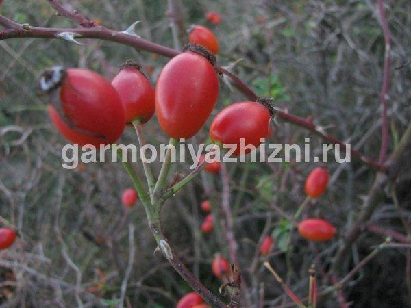 chem-polezen-shipovnik-dlya-organizma