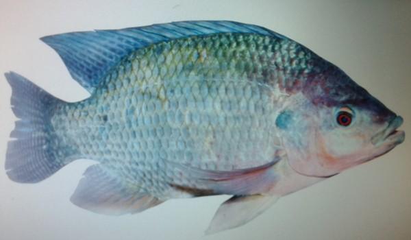 как выглядит рыба тилапия фото