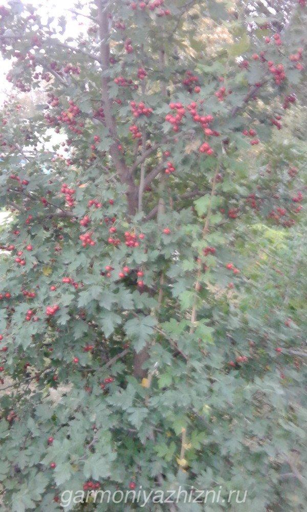 боярышник с ягодами