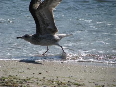 Чайка на море