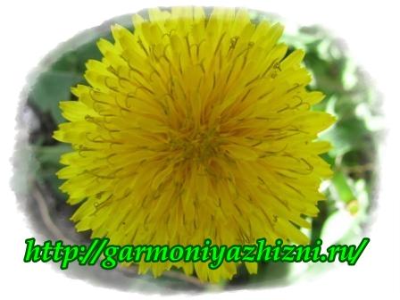одуванчик цветёт