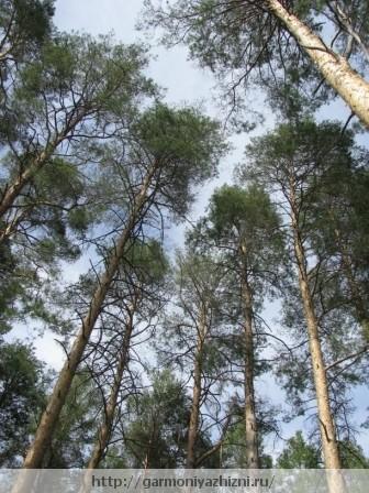 лес сосновый