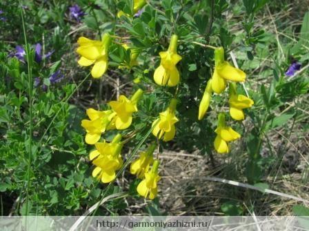 сибирёк цветёт