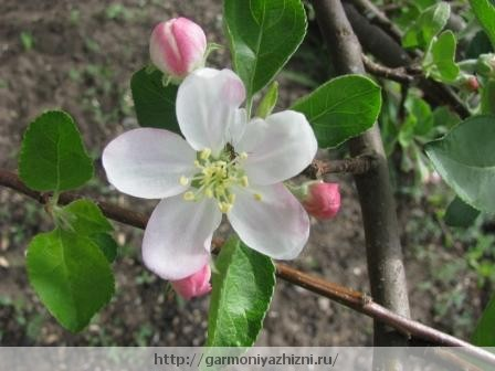 яблоня цветёт весной