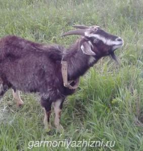 коза на лужайке