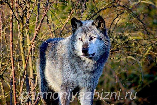 волк на воле